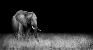 Elephant in the wild. Wild elephant in the african savannah Royalty Free Stock Image