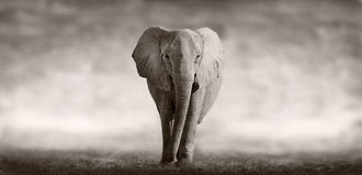 Elephant. Wild African Elephant walking across an african plain Royalty Free Stock Photos