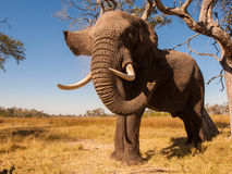 Elephant. Wild African elephant in the wilderness Royalty Free Stock Photography