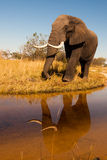 Elephant. Wild African elephant in the wilderness Royalty Free Stock Photos