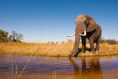 Elephant. Wild African elephant in the wilderness Royalty Free Stock Images