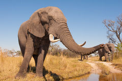 Elephant. Wild African elephant in the wilderness Stock Images