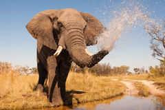 Elephant. Wild African elephant in the wilderness Stock Photos