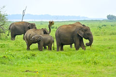 Elephant. In the wild on the island of Sri Lanka Royalty Free Stock Images