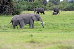 Elephant Royalty Free Stock Photo