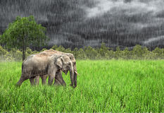 Elephant in the wild . Rainy weather. Country Of Thailand Royalty Free Stock Image