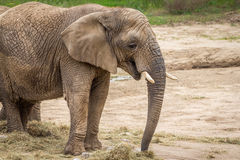 Elephant. Wild elephant standing on the sand with lowered trunk Stock Photo