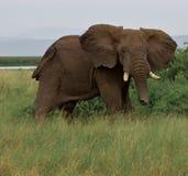 Elephant in Wild in Uganda Stock Photo
