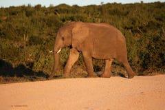African wild Elephant Stock Image