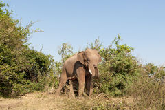 Elephant in the wilderness Royalty Free Stock Images