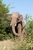 Elephant in the wilderness Royalty Free Stock Photography