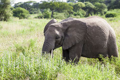Elephant In The Wilderness Stock Photo