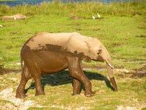 Elephant. Wildlife in African Nationalpark Masai Mara Stock Images