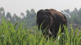 Elephant in wildlife stock footage