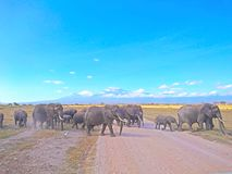 Elephant wildlife landscape with Mt. Kilimanjaro. In the horizon for background use on devices or designs with implemented text stock photos