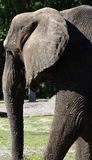 Elephant at a wildlife reserve Stock Images