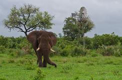 Elephant and windmill in Africa. A large African Elephant bull next to a windmill at a man-made waterhole in the Greater Kruger Transfrontier Park, South Africa royalty free stock images