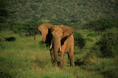 Elephant With Ears Flapping Royalty Free Stock Images
