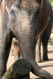 Elephant at work Stock Image