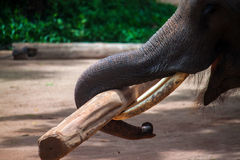 Elephant working with a log Stock Photos
