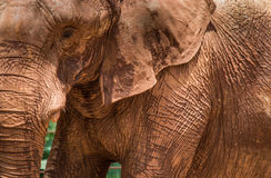 Elephant Wrinkles Royalty Free Stock Photography