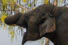 Elephant yawn Stock Images