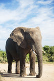 Elephant. Young elephant bull in National Park Stock Images