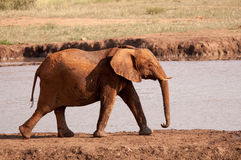 Elephant. A young elephant in South Africa's Madikwe Game Reserve Royalty Free Stock Photography