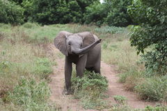 Elephant. Young elephant standing up for itself royalty free stock photography