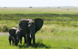 Elephant with youngster. A wild elephant with a youngster Royalty Free Stock Image