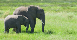 Elephant with youngster. A wild elephant with a youngster Royalty Free Stock Photo