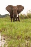 Elephant in Zambia. Wild Elephants on river bank, Lower Zambezi, Zambia Stock Images