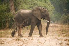 Elephant Zambia Africa Royalty Free Stock Photography