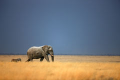 Elephant and zebra. Elephant bull and zebra walking in open grassfield; Loxodonta Africana; Etosha Stock Image