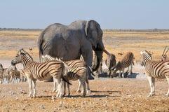 Elephant and zebras. In the Etosha National Park, Namibia stock photo