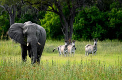Elephant and zebras Royalty Free Stock Image