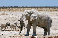 Elephant and zebras Royalty Free Stock Photo