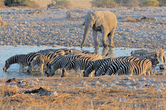 Elephant and zebras at sunset Stock Photography