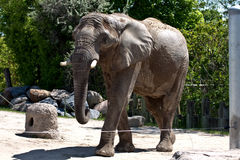 Elephant in zoo. The picture was in made in Toronto\'s zoo Stock Photo