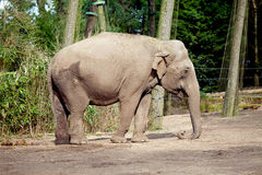 Elephant in the zoo Royalty Free Stock Photos