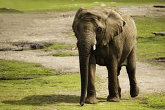 Elephant in a zoo Royalty Free Stock Photography