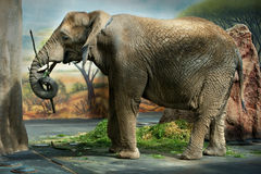 Elephant in a zoo. With painted wall, grass and a rock in the background Royalty Free Stock Image
