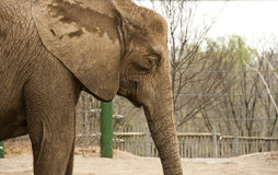 Elephant at zoo. Elephant in zoo surrounded by fencing royalty free stock image