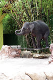 Elephant in zoo Royalty Free Stock Photos