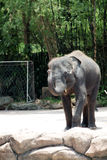 Elephant in zoo Stock Image