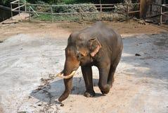 An elephant Stock Photo