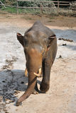 An elephant Royalty Free Stock Images