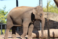 Elephant in the zoo Royalty Free Stock Photo