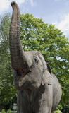 Elephant in zoo. Large African Elephant in the zoo Stock Photos