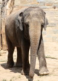 Elephant at zoo. An Asian elephant in a zoo habitat Stock Photography